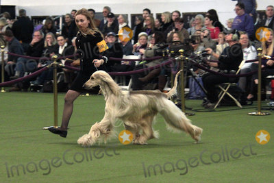 Photos From The 2020 Westminster Kennel Club Dog Show -NYC